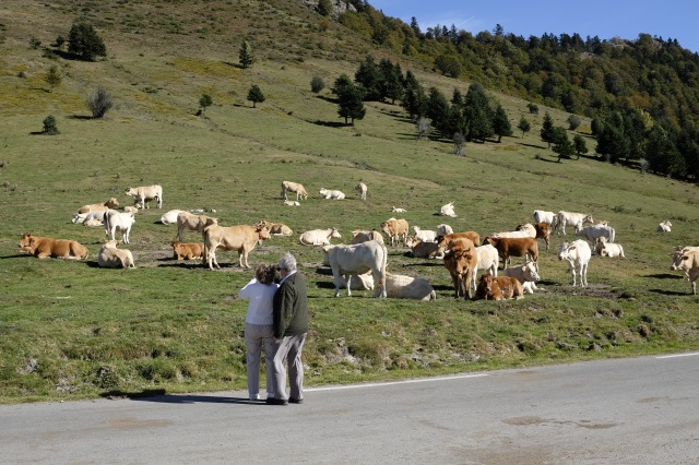 Tourists photographing cows at the ...